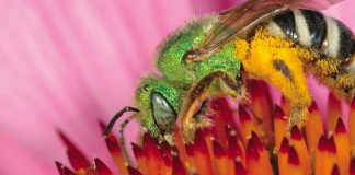 A photo of the metallic green sweat bee, the Agapostemon virescens, pictured in the Toronto Pollinator Protection Strategy.